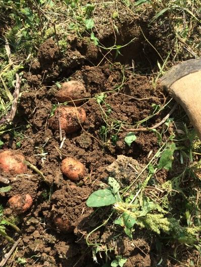 potato hill